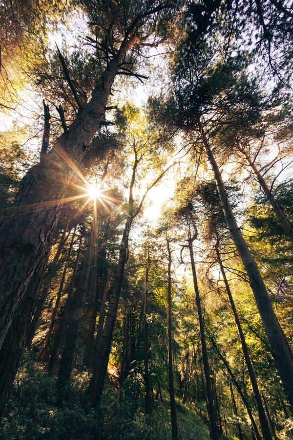 Foresta della montagna del pino nella stagione estiva fotografie stock libere da diritti