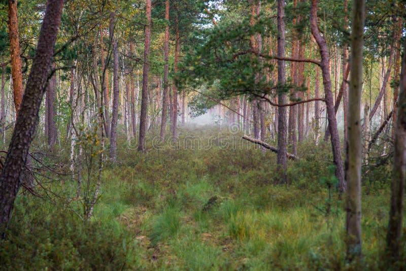 Foresta della palude al primo mattino fotografie stock libere da diritti