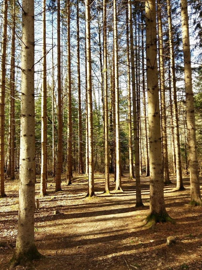 Foresta della primavera alla luce solare fotografia stock libera da diritti