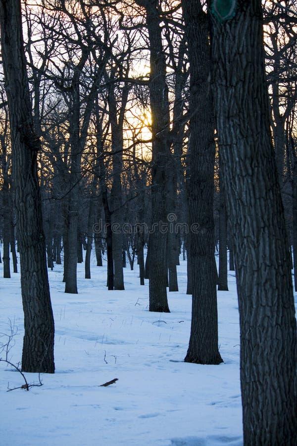 Foresta della primavera, tronchi di albero nudi fotografia stock