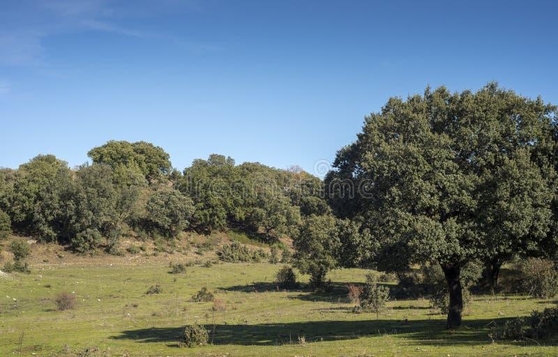 Foresta della quercia di Holm, sottospecie di quercus ilex rotundifolia fotografia stock libera da diritti