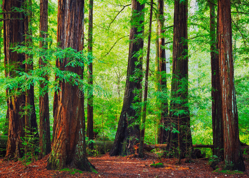 Download Foresta della sequoia immagine stock. Immagine di foresta - 30828447