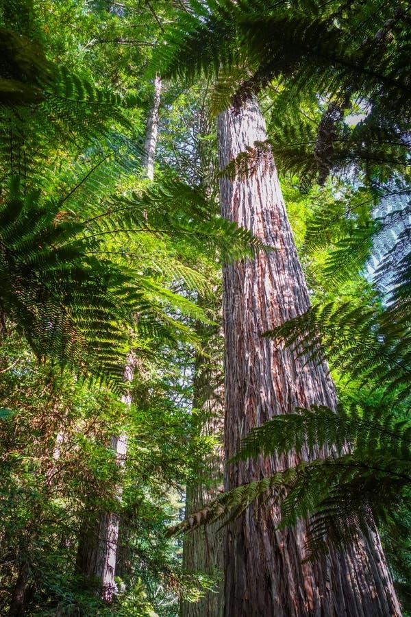 Foresta della sequoia della sequoia gigante, il Distretto di Rotorua, Nuova Zelanda immagini stock libere da diritti