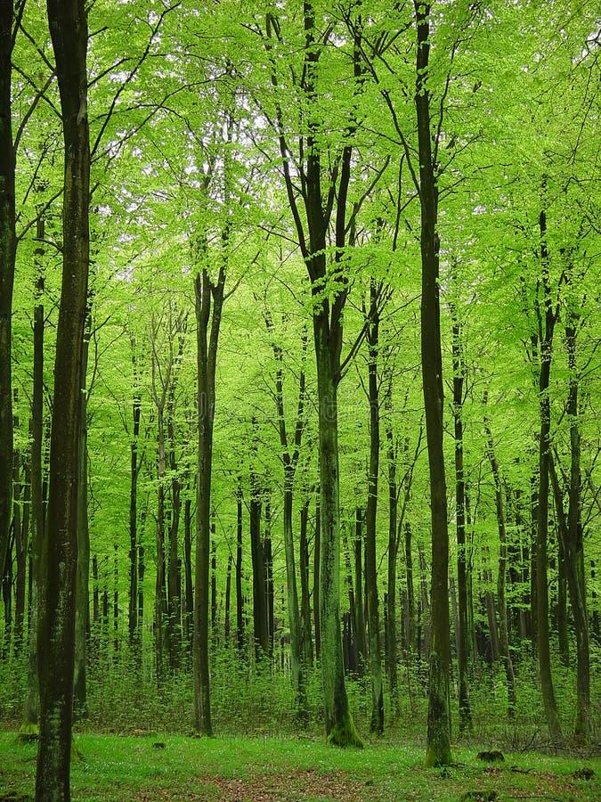 Foresta della sorgente immagine stock