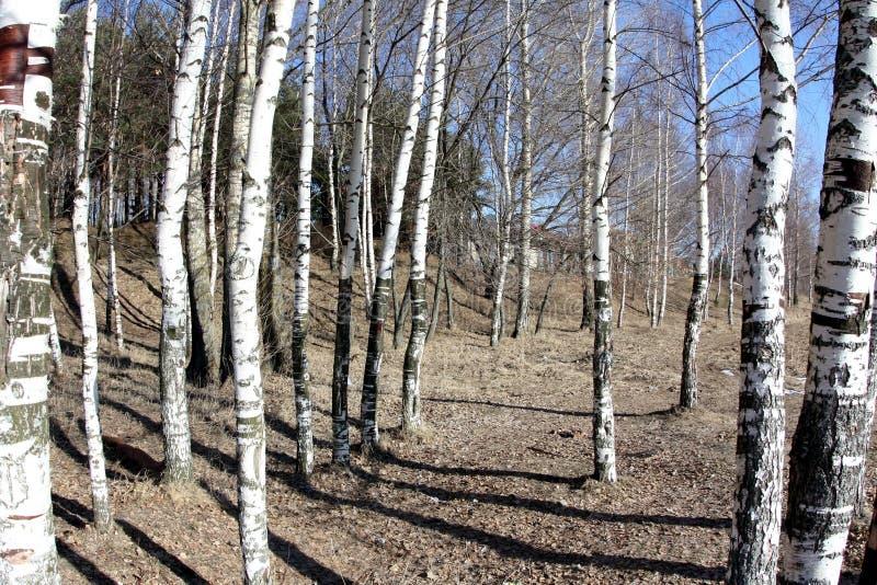 Foresta delle betulle, fondo astratto, natura fotografia stock