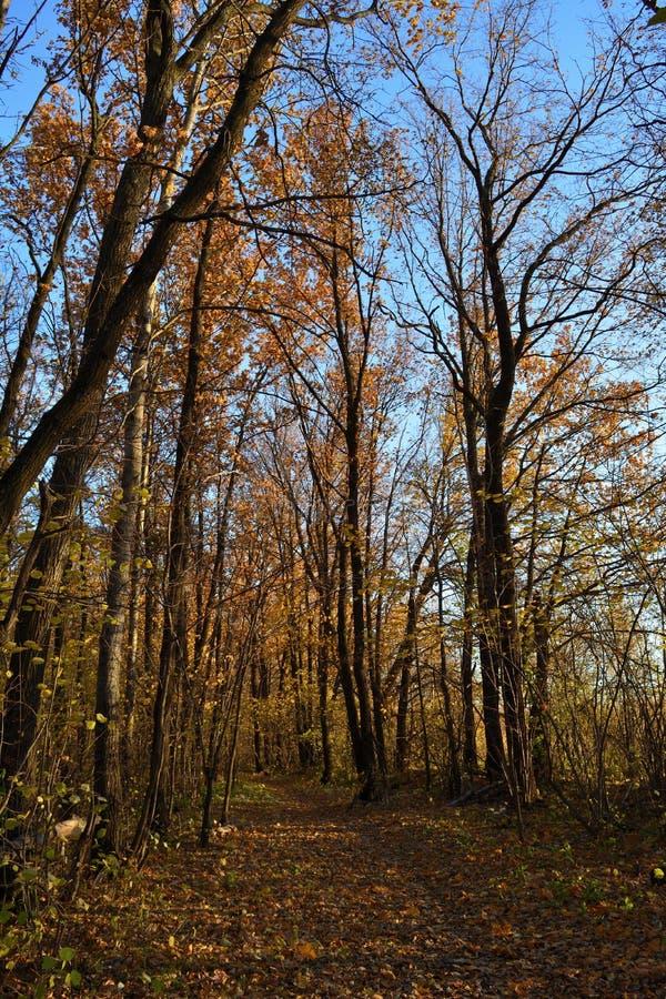 Foresta delle latifoglie nella caduta Percorso di camminata con le foglie cadute Scena di autunno immagine stock libera da diritti