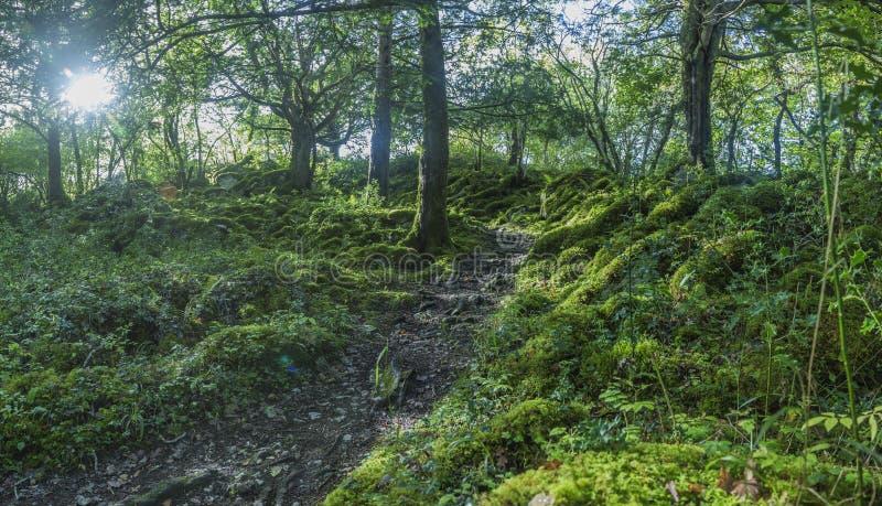 Foresta densa e verde nel parco nazionale di Killarney in Irlanda fotografia stock libera da diritti