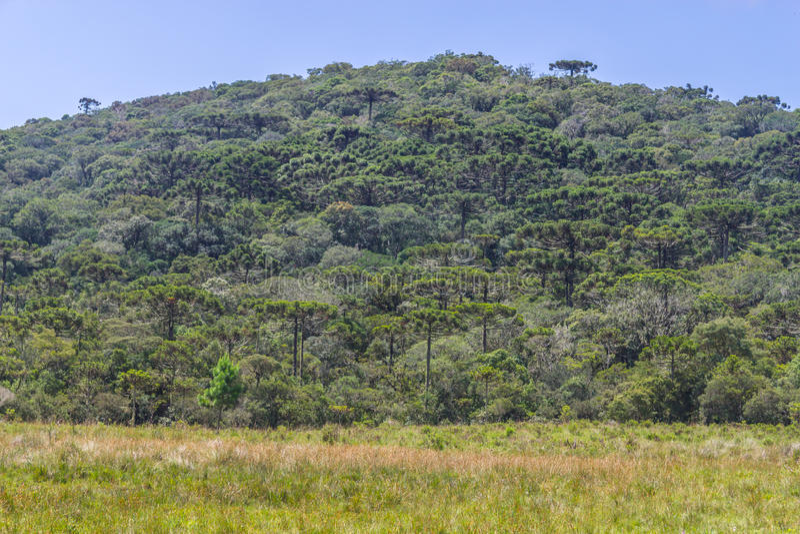 Foresta di araucaria angustifolia al canyon di Itaimbezinho fotografia stock