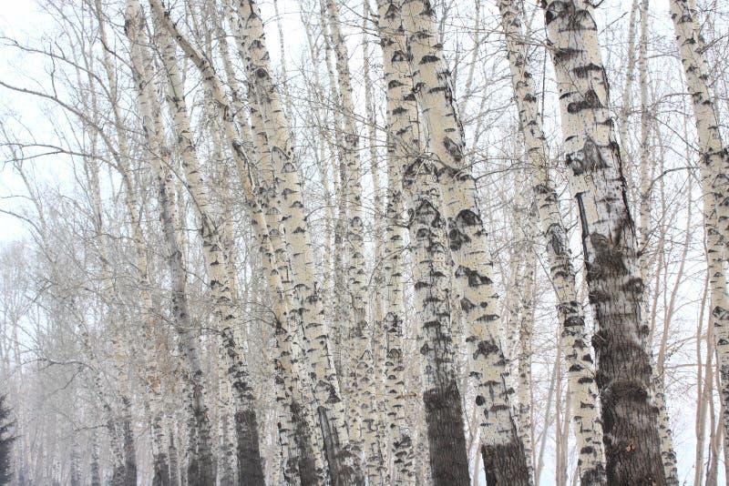 Foresta di Aspen immagini stock libere da diritti