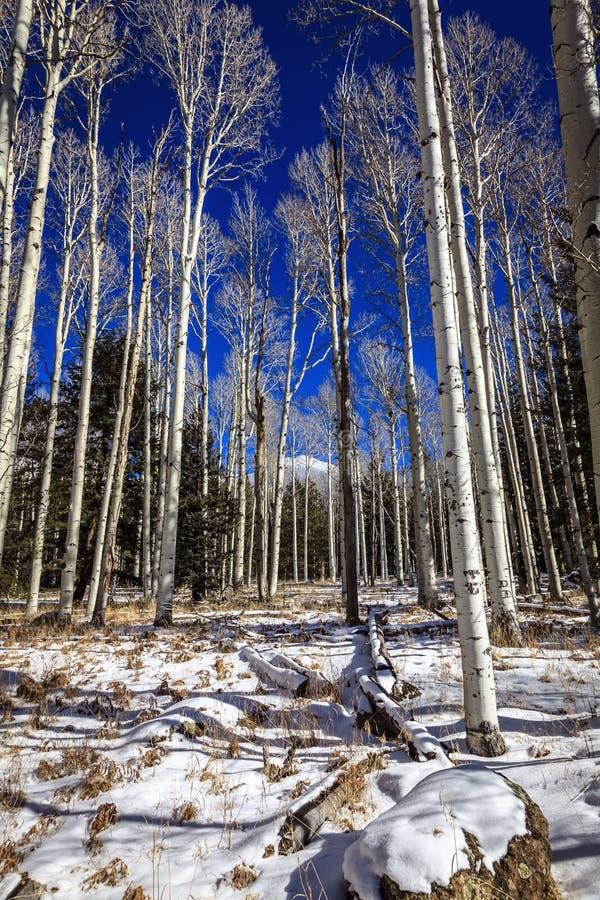 Foresta di Aspen fotografia stock