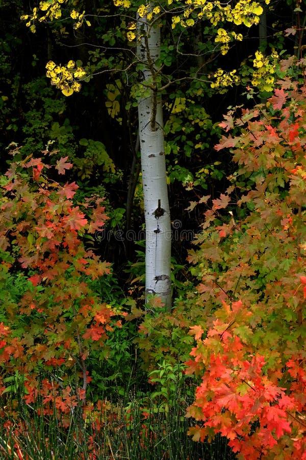 Foresta di Autumn Fall Trees Birch Maple immagine stock libera da diritti
