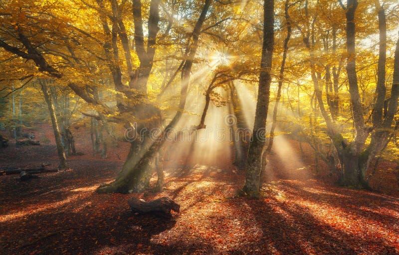 Foresta di autunno in nebbia con i raggi del sole Vecchi alberi magici fotografia stock