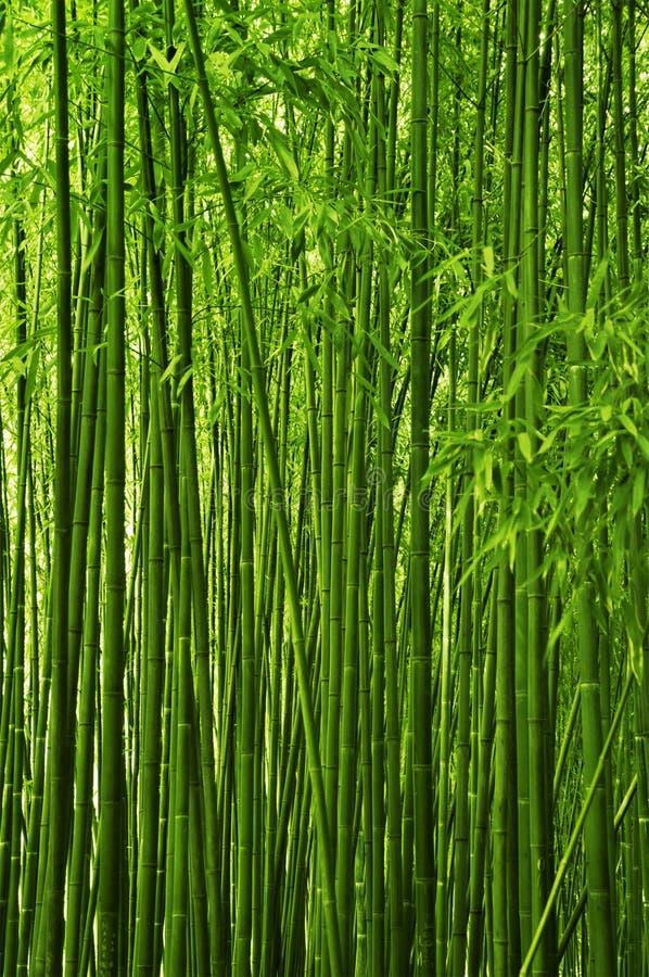 Foresta di bambù fotografia stock