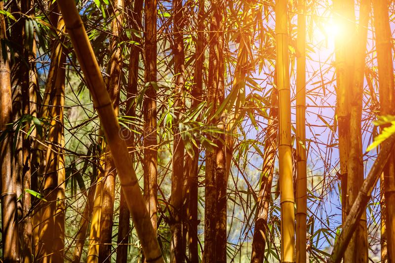 Foresta di bambù contro il cielo blu Struttura della natura La luce del sole tramite i tronchi e le foglie fotografia stock