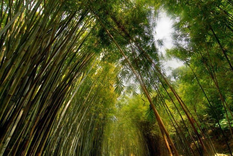 Foresta di bambù fertile immagine stock