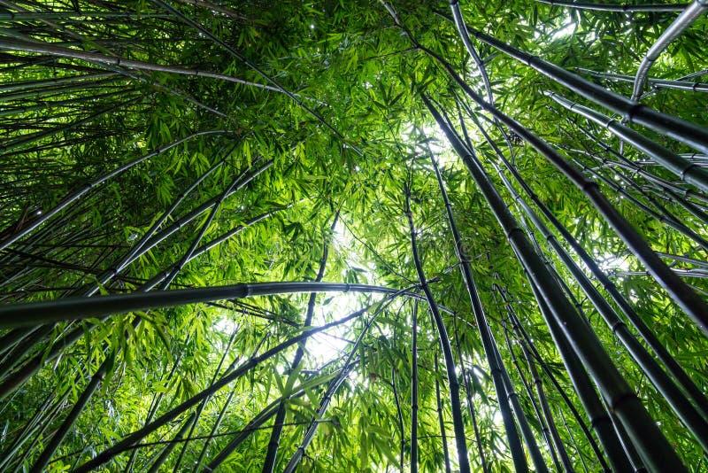 Foresta di bambù sul parco nazionale di Haleakala della traccia di Pipiwai, Maui, Hawai fotografia stock libera da diritti