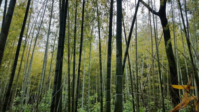 Foresta di bambù vicino a Kyoto fotografia stock