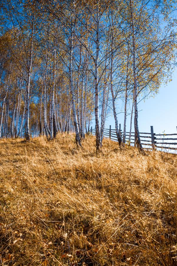 Foresta di betulla d'autunno immagini stock