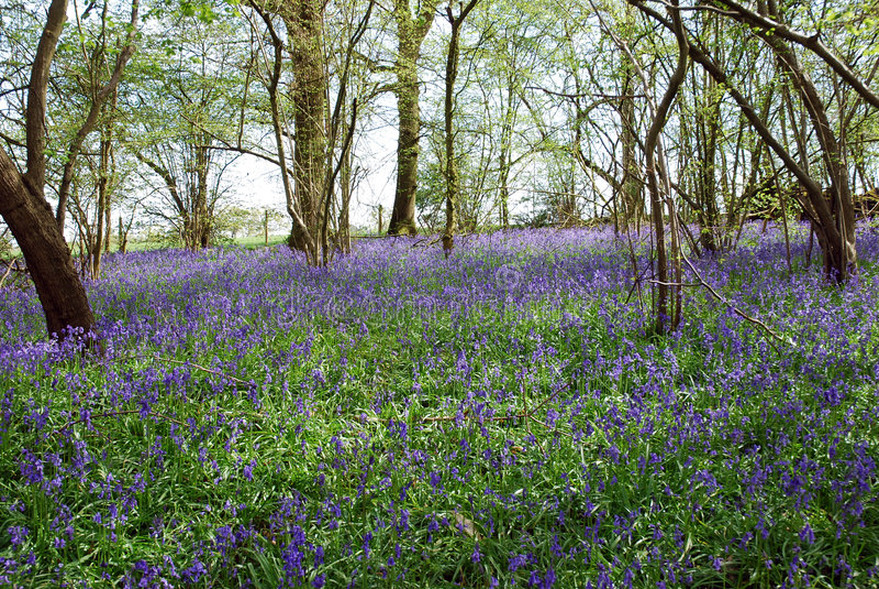 Foresta di Bluebell fotografia stock libera da diritti