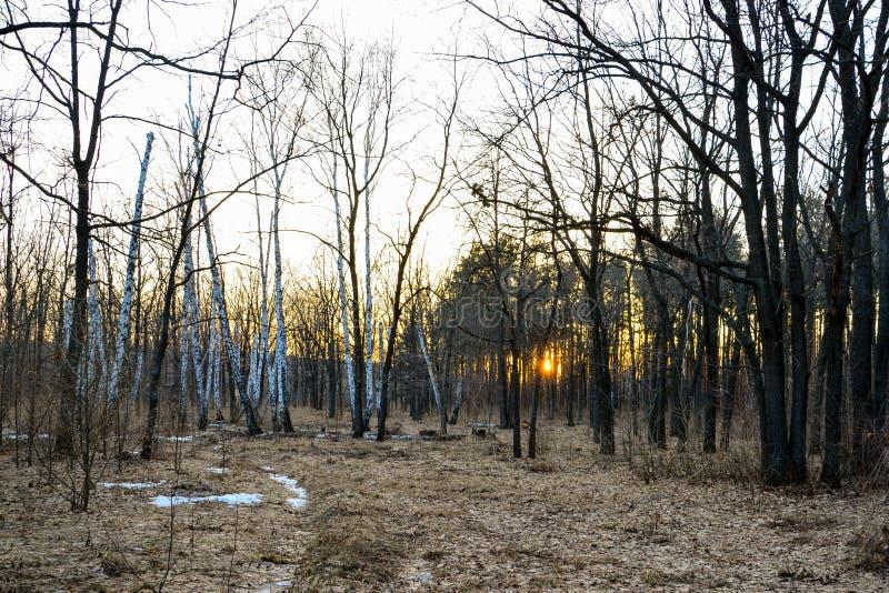 Foresta di conifere illuminata dal sole uguagliante un giorno di molla Tramonto fotografie stock