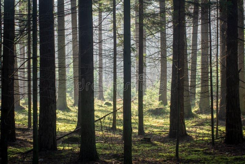 Foresta di conifere spessa in autunno I raggi traslucidi del sole cadono delicatamente sui tronchi degli alberi fotografia stock