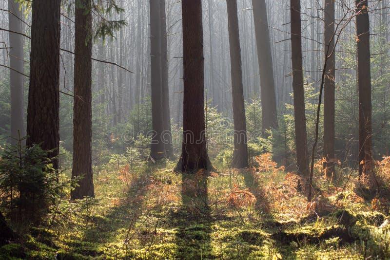 Foresta di conifere spessa in autunno I raggi traslucidi del sole cadono delicatamente sui tronchi degli alberi immagini stock