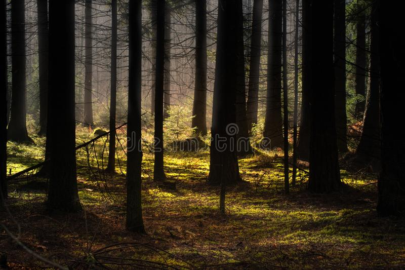 Foresta di conifere spessa in autunno I raggi traslucidi del sole cadono delicatamente sui tronchi degli alberi immagini stock libere da diritti