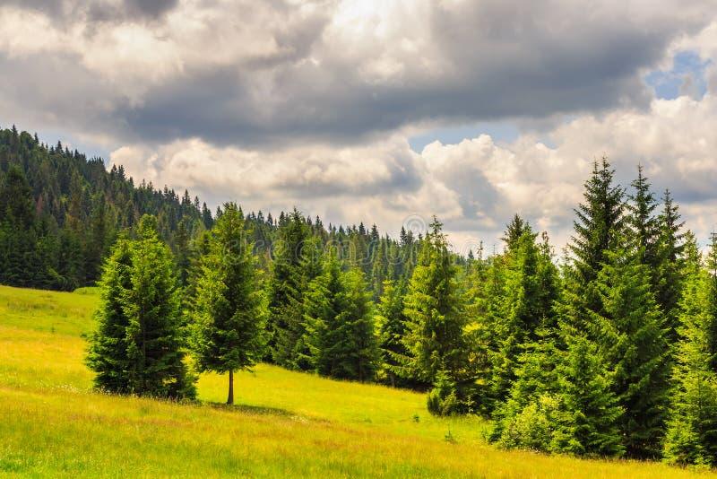 Foresta di conifere su un pendio di montagna fotografie stock