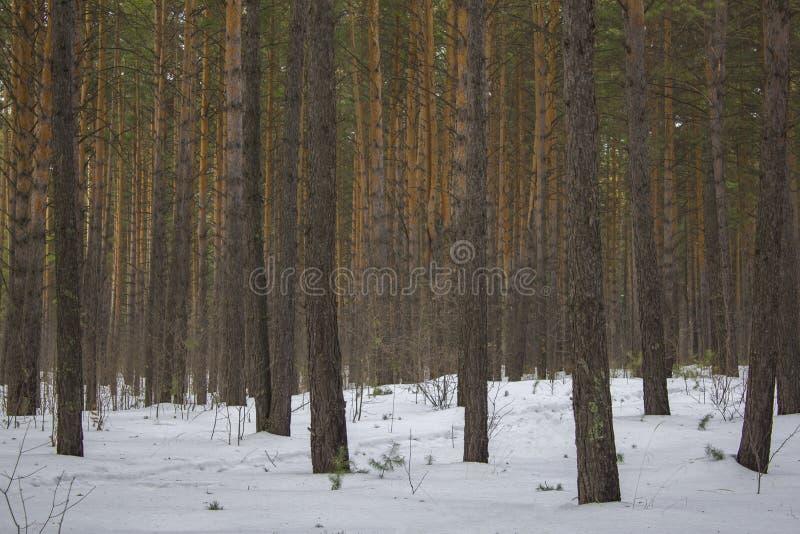 Foresta di conifere verde gialla grigia spessa nella foresta nevosa di inverno fotografia stock libera da diritti