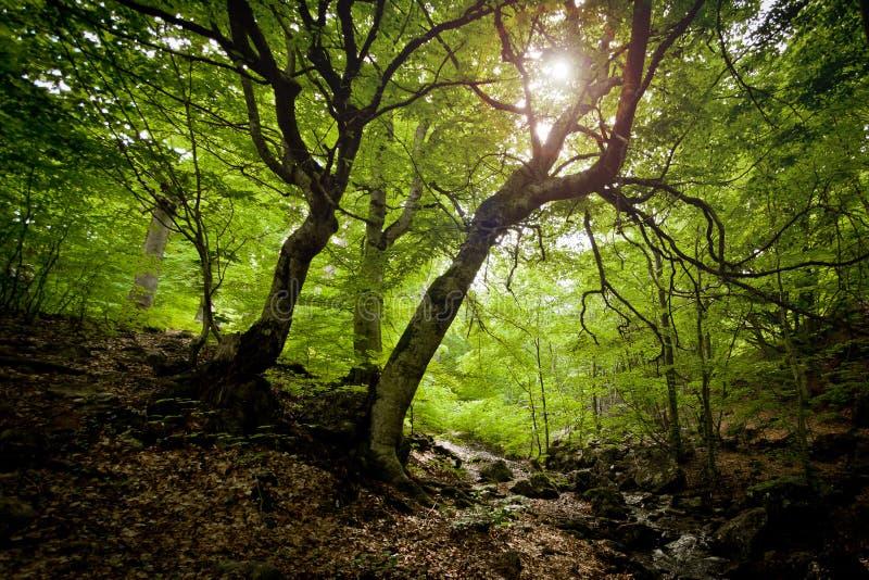 Foresta di Elven fotografia stock