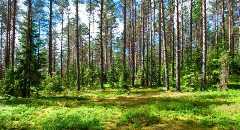 Foresta di estate immagine stock