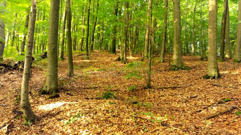 Foresta di estate nelle montagne, grandi alberi fotografia stock