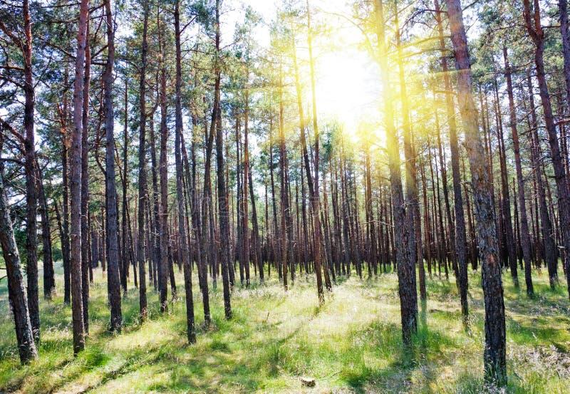 Foresta di estate, sole fotografia stock