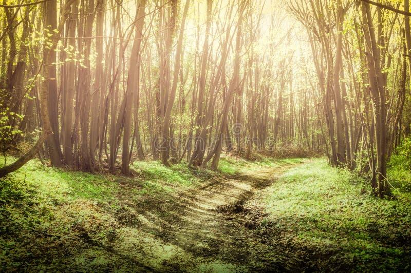 Foresta di fiaba con gli alberi e luce solare naturale nel percorso nebbioso attraverso la natura fotografia stock libera da diritti