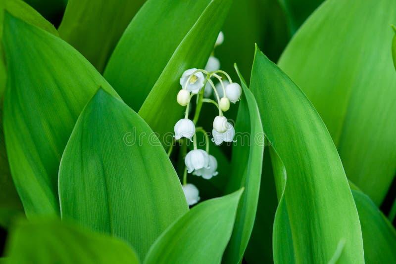 Foresta di fioritura del mughetto in primavera vicina su fotografia stock