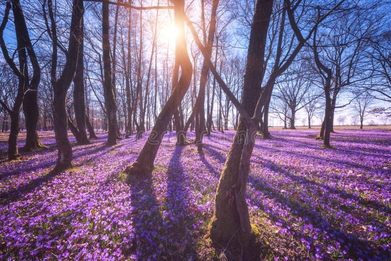 Foresta di fioritura soleggiata con un tappeto dei fiori viola selvaggi dello zafferano o del croco, paesaggio di stupore fotografie stock