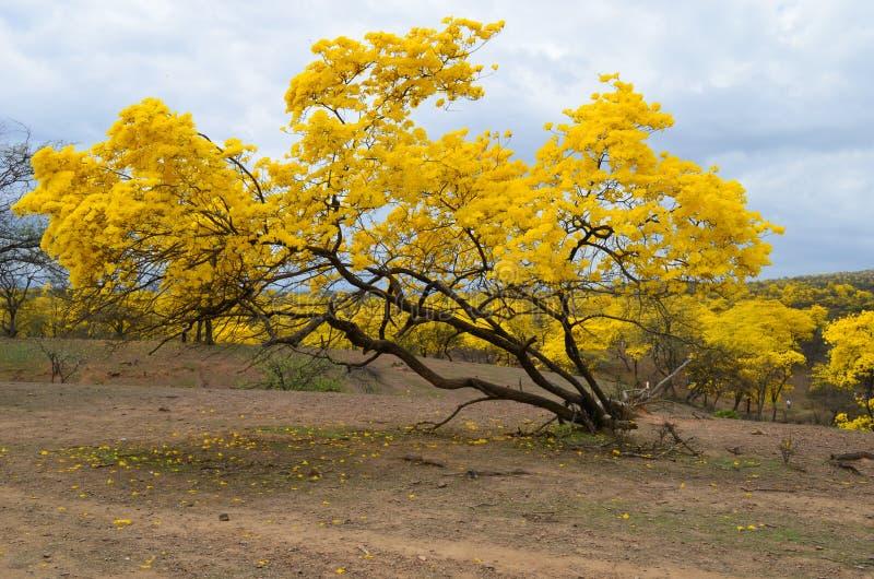 Foresta di Guayacanes immagine stock