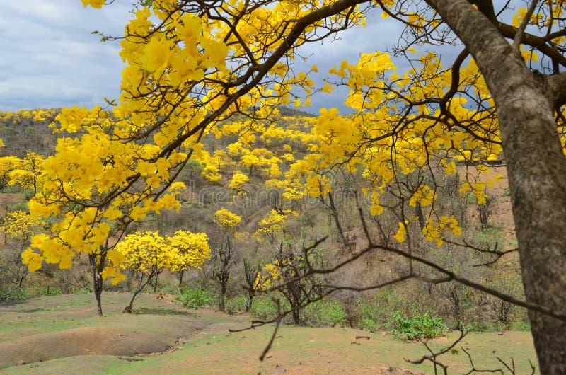 Foresta di Guayacanes fotografia stock