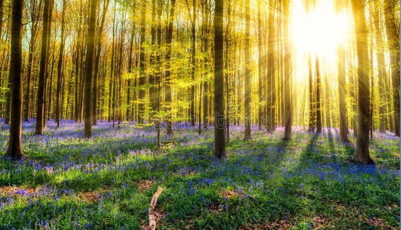 Foresta di Hallerbos immagini stock libere da diritti