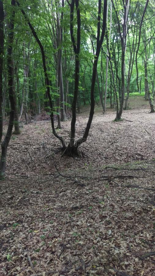 Foresta di Hoia-Baciu immagini stock libere da diritti