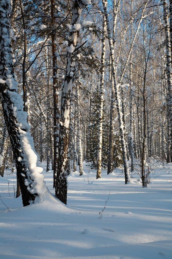 Download Foresta di inverno fotografia stock. Immagine di stagione - 7322574