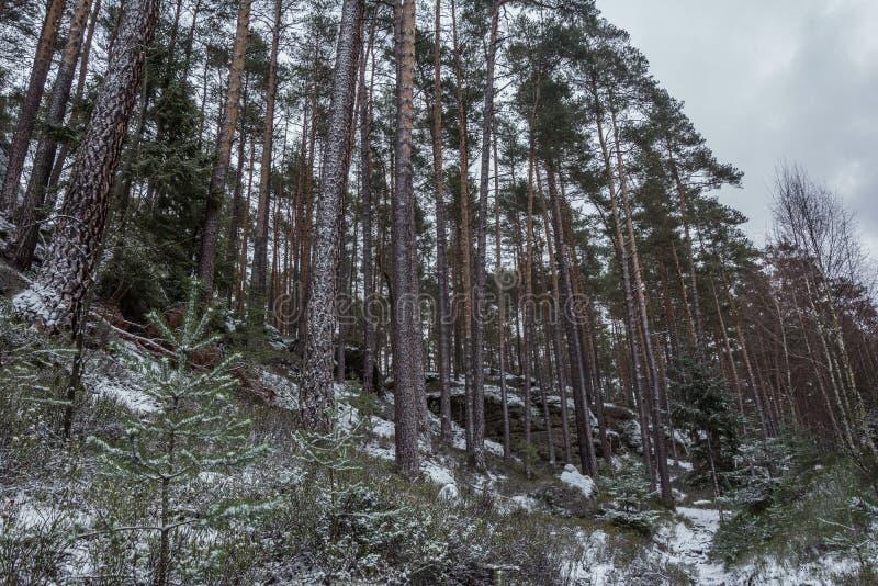Foresta di inverno con gli alberi coperti di neve immagine stock libera da diritti