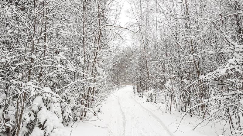 Foresta di inverno con neve fotografia stock libera da diritti