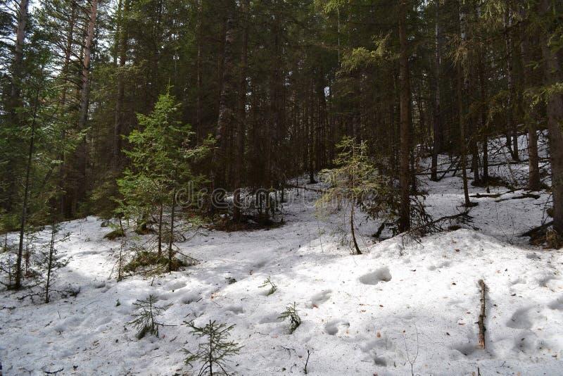 Foresta di inverno della Siberia immagine stock