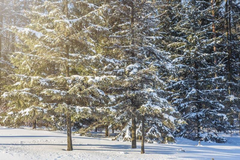 Foresta di inverno il giorno pieno di sole Alberi dello Snowy Tempo di natale Fondo della natura di natale immagini stock
