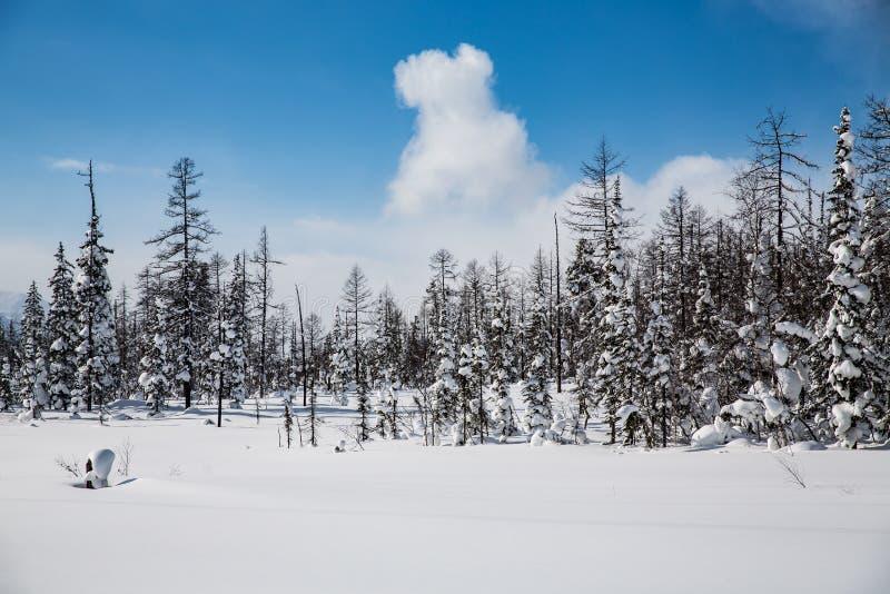 Foresta di inverno in tempo soleggiato contro un cielo blu fotografia stock libera da diritti