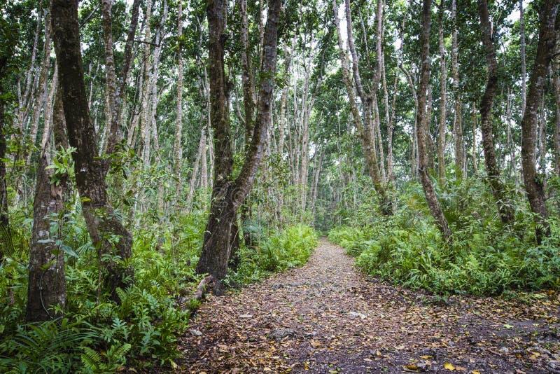 Foresta di Jozani, Zanzibar, Tanzania fotografia stock libera da diritti