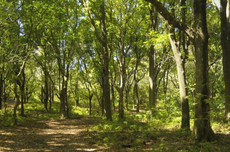 Foresta di mogano immagine stock