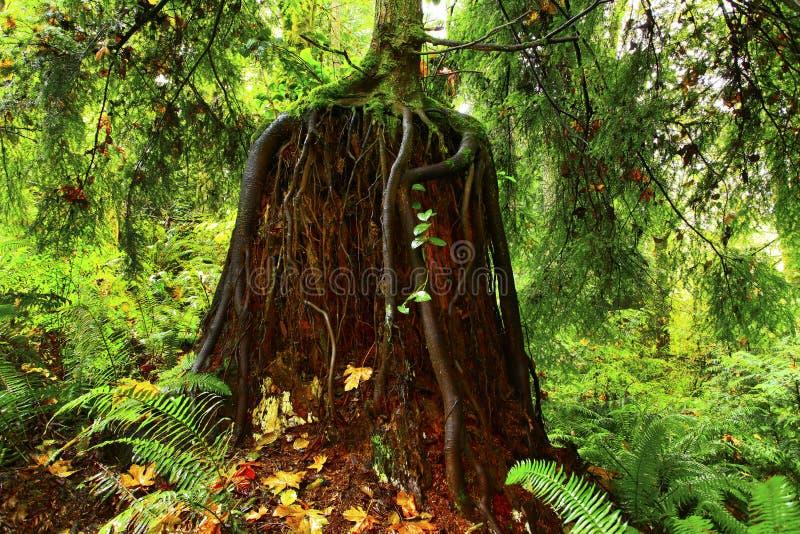 Foresta di nord-ovest pacifica con un albero della conifera di seconda crescita fotografia stock