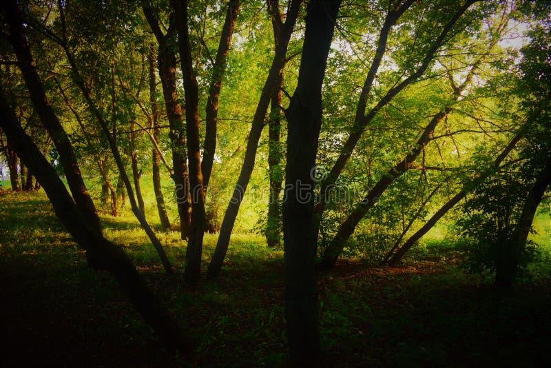 Foresta di sera fotografia stock libera da diritti